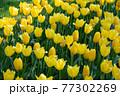一面に広がる黄色いチューリップ 春イメージ 77302269