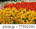 一面に広がる白、黄色、赤のチューリップ 春イメージ 77302291