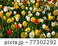 一面に広がる白、黄色、赤のチューリップ 春イメージ 77302292