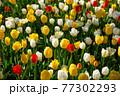 一面に広がる白、黄色、赤のチューリップ 春イメージ 77302293