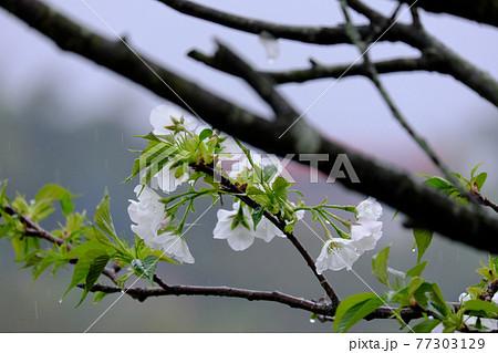 雨の恵みを受ける大島桜のシャワー 77303129