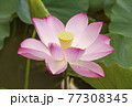 蓮の花 夏の花 大賀蓮 77308345