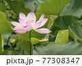 蓮の花 夏の花 大賀蓮 77308347