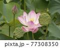 蓮の花 夏の花 大賀蓮 77308350