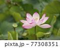 蓮の花 夏の花 大賀蓮 77308351