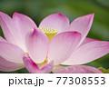 蓮の花 夏の花 大賀蓮 イメージ 77308553