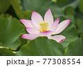 蓮の花 夏の花 大賀蓮 イメージ 77308554