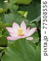 蓮の花 夏の花 大賀蓮 イメージ 77308556