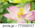 蓮の花 夏の花 大賀蓮 イメージ 77308557