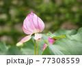 蓮の花 夏の花 大賀蓮 イメージ 77308559