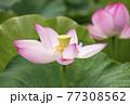 蓮の花 夏の花 大賀蓮 イメージ 77308562