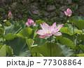 蓮の花 田丸城跡 伊勢志摩観光スポット 大賀蓮 夏の花の風景 77308864