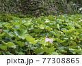 蓮の花 田丸城跡 伊勢志摩観光スポット 大賀蓮 夏の花の風景 77308865