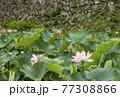 蓮の花 田丸城跡 伊勢志摩観光スポット 大賀蓮 夏の花の風景 77308866