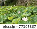 蓮の花 田丸城跡 伊勢志摩観光スポット 大賀蓮 夏の花の風景 77308867