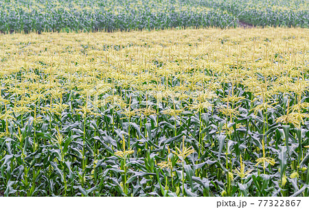 「北海道」美瑛の丘 トウモロコシ畑 77322867