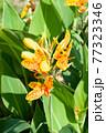 黄色に赤い斑点のカンナの花 77323346