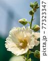 クリーム色のタチアオイの花 77323347