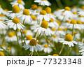 白いカモミールの花畑 クローズアップ 77323348