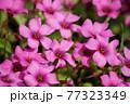 満開のピンク色のオキザリスの花 77323349