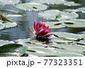 光る水面と睡蓮の赤い花と葉 77323351