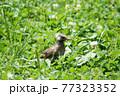 草むらの中にいる若いムクドリ 77323352