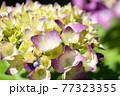 紫がかった紫陽花の花 クローズアップマクロ 77323355