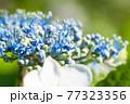 青と白のガクアジサイの花 クローズアップ 77323356