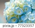 パステルカラーの綺麗な水色の紫陽花の花 77323357