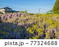 西寒田神社の藤 77324688