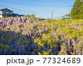 西寒田神社の藤 77324689