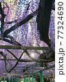 西寒田神社の藤 77324690