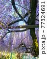 西寒田神社の藤 77324691