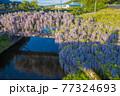 西寒田神社の藤 77324693