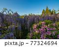西寒田神社の藤 77324694