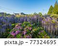 西寒田神社の藤 77324695