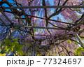 西寒田神社の藤 77324697