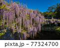 西寒田神社の藤 77324700