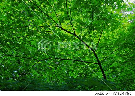 新緑の季節 77324760