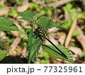 生態画像、ミヤマサナエ 77325961