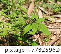生態画像、ミヤマサナエ 77325962