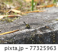 生態画像、ミヤマサナエ 77325963