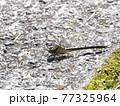 生態画像、ミヤマサナエ 77325964