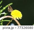 ノゲシの花にヒメウラナミジャノメ、生態画像 77326080