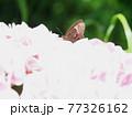 アジサイの花にヒカゲチョウ、生態写真 77326162