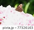 アジサイの花にヒカゲチョウ、生態写真 77326163