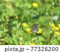 カタバミの花にヒメウラナミジャノメ、生態写真 77326200