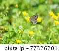 カタバミの花にヒメウラナミジャノメ、生態写真 77326201
