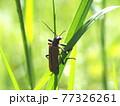 生態写真、ジョウカイボン 77326261