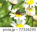 生態写真、コアオハナムグリ 77326295
